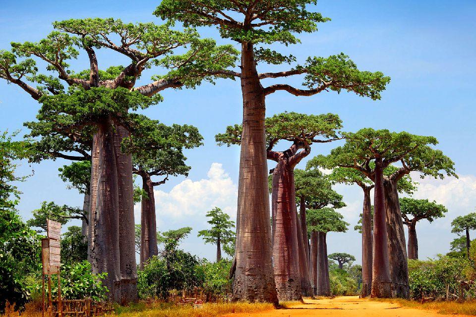 Allée-de-Baobab-Madagascar